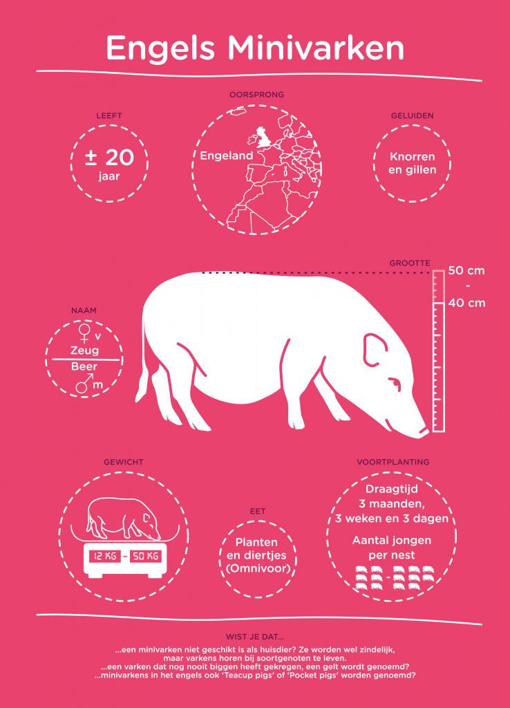 De infographics vertellen informatie die je nog niet wist, bijvoorbeeld over het Engels Minivarken.